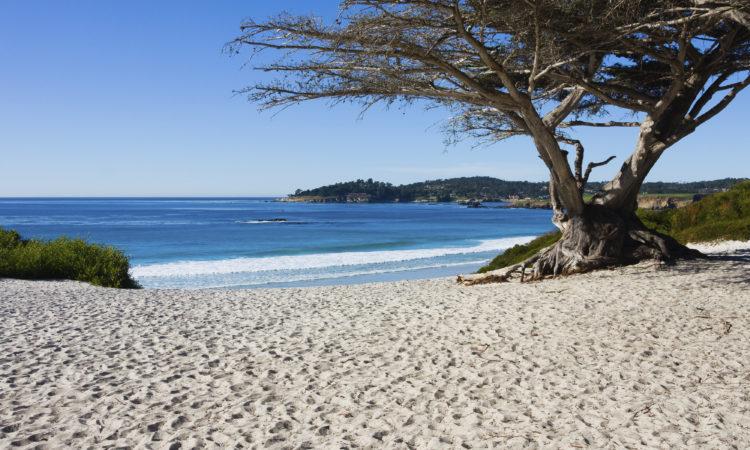 Carmel Beach Cypress Tree