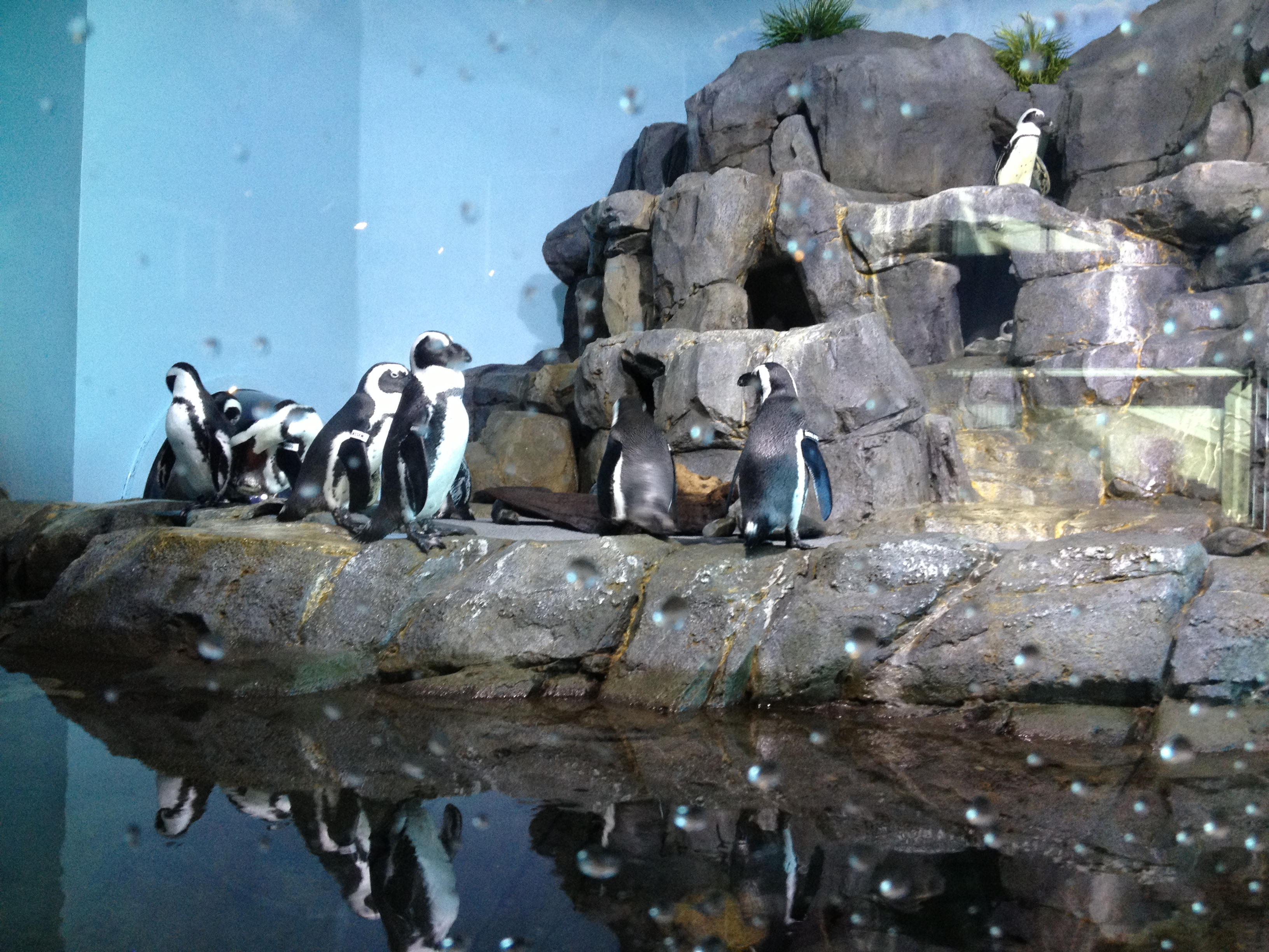 Penguins at the Monterey Bay Aquarium