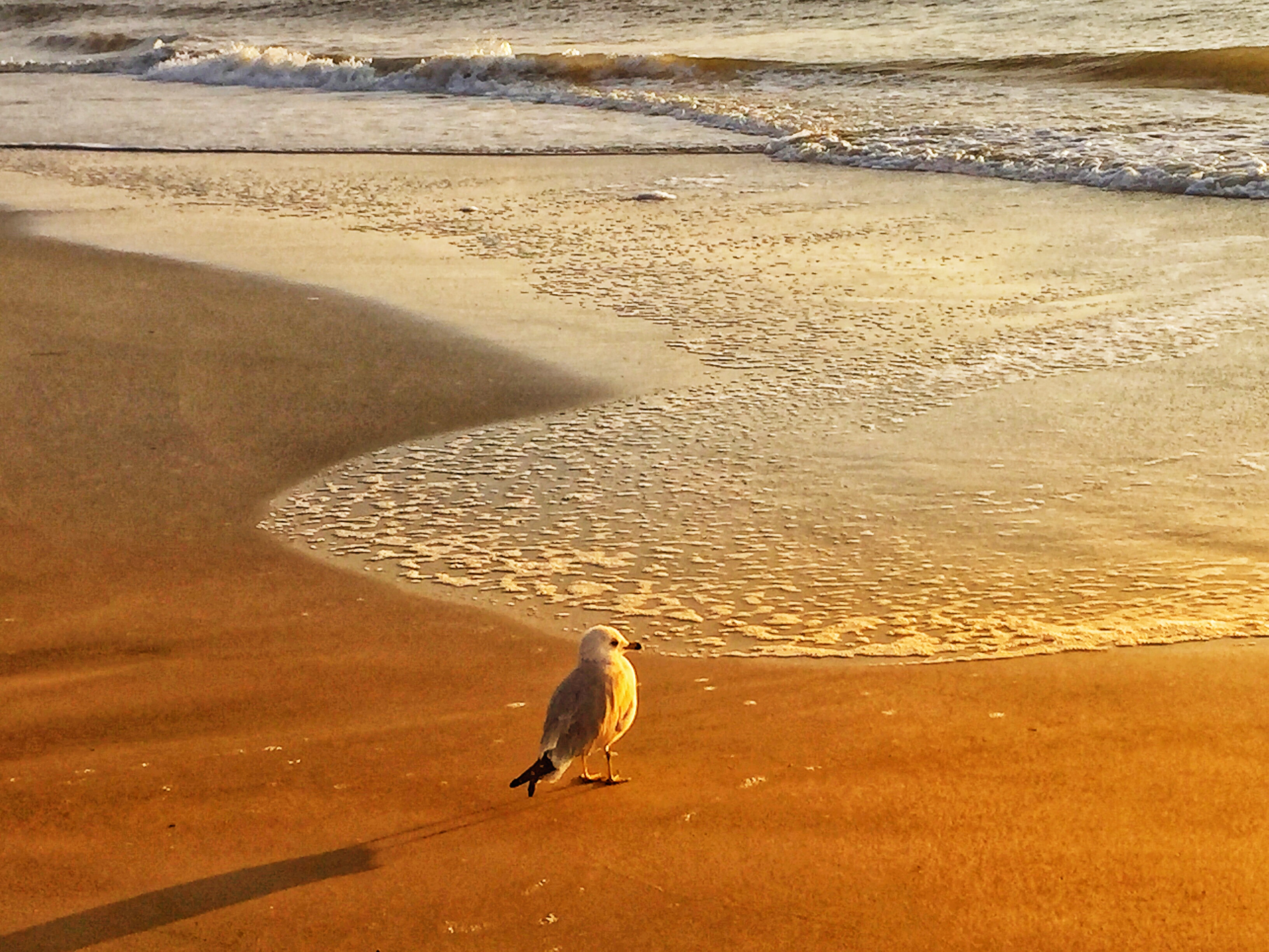 bird on hilton head beach
